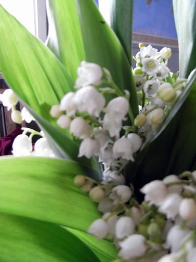 Liljekonvaljer