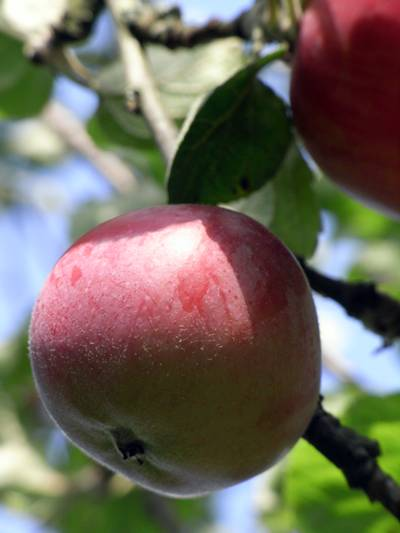 brudäpplar