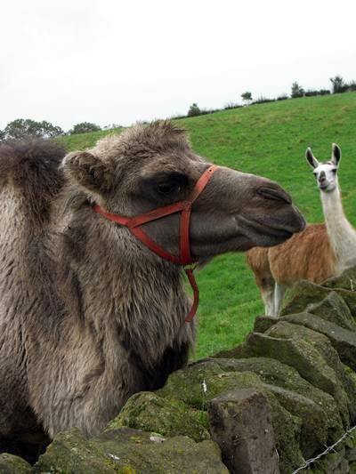 söt kamel