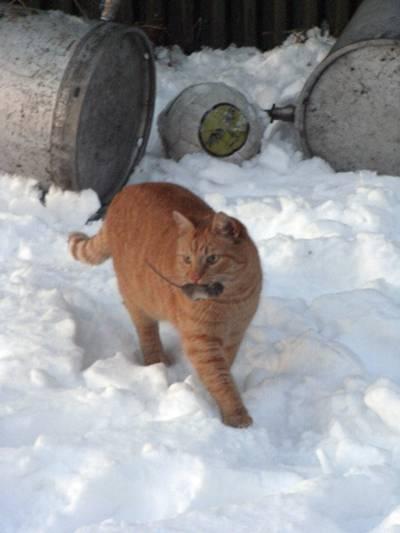 Katt stolt som en tupp