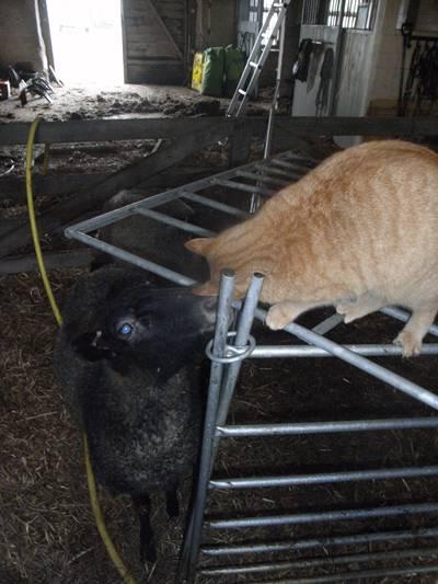 katt och lammys